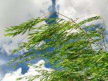 płacze wierzba wiatr zdjęcia royalty free