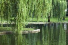 Płacze Wierzbowy drzewo Obraz Royalty Free