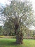 Płacze Wierzbowy drzewo Obrazy Stock