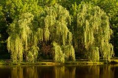 Płacze Wierzbowy drzewo Fotografia Royalty Free