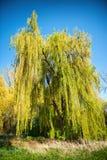 Płacze wierzbowy drzewo z wiosny ulistnieniem Fotografia Royalty Free