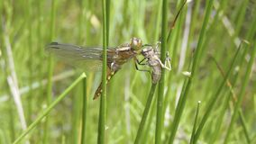 Płaski dragonfly (Libellula depressa) zdjęcie stock