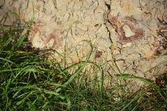 Płaski drzewo Fotografia Stock