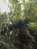 Płaskiego drzewa korzenie fotografia stock