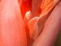 Płatek Czerwony Purpurowy Bromeliad kwiatu kwitnienie Zdjęcia Royalty Free