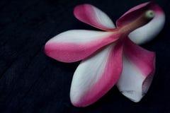 Płatek i sepal Frangipani Plumeria hybrydowy kwiat Fotografia Stock