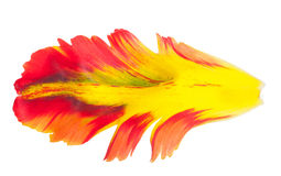Płatek tulipan Makro- Zdjęcie Royalty Free