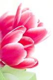 płatków czerwieni tulipan Obrazy Royalty Free
