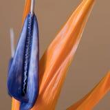Płatki Strelitzia reginae, ptak raju kwiat Zdjęcie Stock