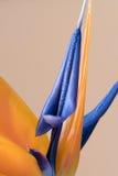 Płatki Strelitzia reginae, ptak raju kwiat Obraz Royalty Free