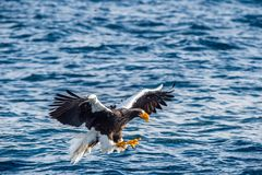 P?che d'aigle de mer de Steller adulte Nom scientifique : Pelagicus de Haliaeetus Fond bleu d'oc?an photos stock