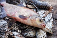 P?che de troph?e Grands poissons communs d'eau douce de br?me sur l'?puisette photo stock
