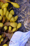 Pęcherzowe Rockweed algi fotografia stock