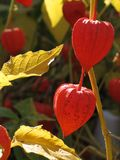 pęcherzyca jagodowa Fotografia Stock