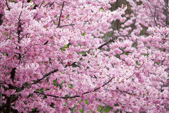 (P. cv de hybride - van de ?Roze Dame?) kersenbloesems Royalty-vrije Stock Afbeelding