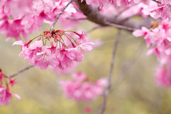(P. cv - 'Pink Lady' hybrid) cherry blossoms Stock Photography