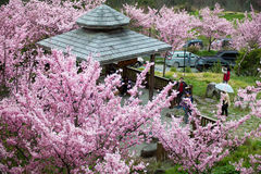 (P. cv - 'Pink Lady' hybrid) cherry blossoms Stock Image