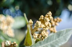 Pączek giapponese nespolo, Eriobotrya japonica Obrazy Stock