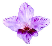 Pączek gladiolusa biel i purpury Obrazy Stock