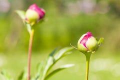 Pączek purpurowy peonia kwiat. obraz stock