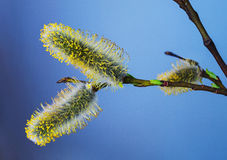 Pączek wierzba w kwitnienie fazie Zdjęcie Royalty Free