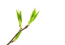 pączek wiosna Obrazy Stock