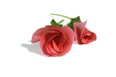 pączków kwiatów menchie Obrazy Royalty Free