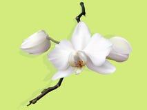 pączków kwiatu storczykowy biel Obrazy Stock