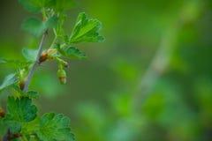 Pączki agrest na zielonym tle Zdjęcia Stock