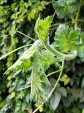 Pączki greenery Zdjęcia Stock