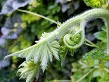 Pączki greenery Zdjęcie Stock