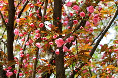 Pączki i kwiaty Sakura Obrazy Stock