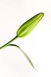 pączkowa leluja Fotografia Stock