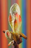 pączkowy cisawy drzewo Zdjęcie Stock