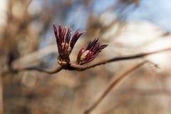 Pączkowy czerwony elderberry Fotografia Stock