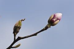 pączkowy drzewo Zdjęcie Royalty Free