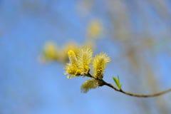 pączkuje kici wiosna wierzby Zdjęcie Royalty Free