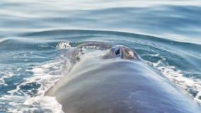60p ekstremum zamknięty w górę humpback wieloryba ukazywać się zdjęcie wideo