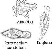 P?gina que colorea Fije de los protozoos unicelulares de los organismos: Caudatum del Paramecium, proteus de la ameba y viridis d libre illustration
