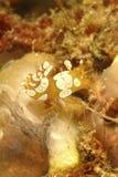 Pękata garnela, Mabul wyspa, Sabah Obrazy Stock