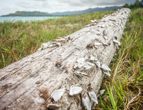 Pąkle na driftwood obrazy royalty free