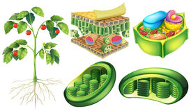 Plant cell Royalty Free Stock Image