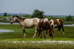 Pônei de Chincoteague, igualmente conhecido como o cavalo de Assateague Foto de Stock