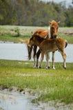 Pônei de Chincoteague, igualmente conhecido como o cavalo de Assateague Fotos de Stock Royalty Free