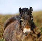 Pônei de Exmoor Fotografia de Stock Royalty Free