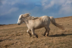 Pônei de galês selvagem Fotos de Stock Royalty Free