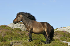 Pônei de Shetland Imagem de Stock Royalty Free