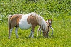 Pônei e bebê da mãe na grama verde Imagem de Stock