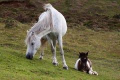 Pônei e potro de Dartmoor Fotos de Stock