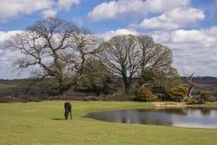 Pônei novo da floresta que pasta pela lagoa na opinião de Bratley Foto de Stock Royalty Free